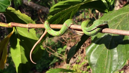 Eyelash viper (Bothriechis schlegelii),  Ecuador
