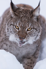 Eurasian Lynx in the snow hunting