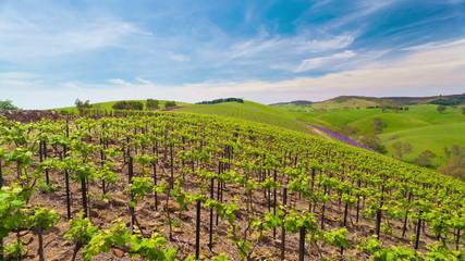 Motorized dolly timelapse video of grape vines in a vineyard