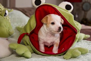 Puppy Chiwawa.