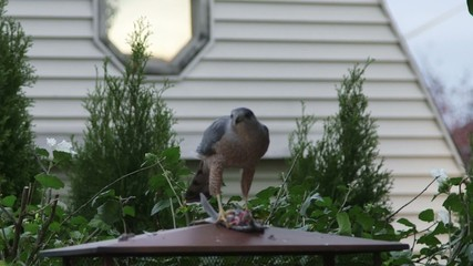 Predator hawk eating another bird