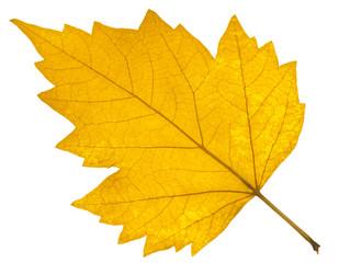feuille sèche d'automne sur fond blanc