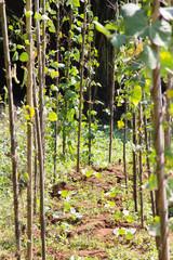 String bean in the garden