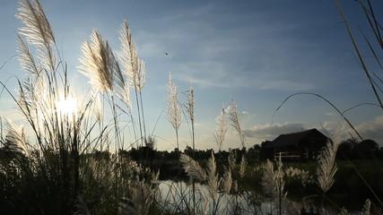 sunlight through grass flowers in rice field on twilight