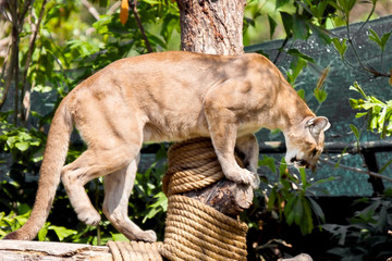 Puma walking on a log, preparing to leap.Zoo Khao Keo. Thailand