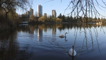 Swans in Lost Lagoon, Vancouver