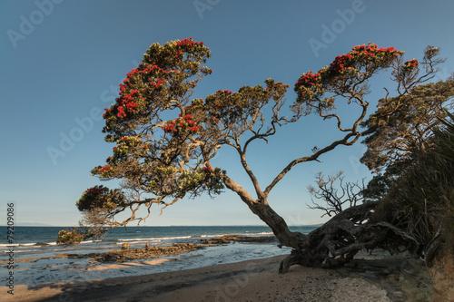 Plexiglas Nieuw Zeeland Pohutukawa tree growing above beach in New Zealand