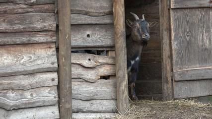 Braune Ziege schaut aus dem Ziegenstall