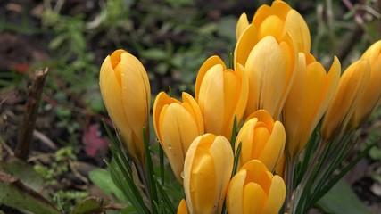 Gelbe Krokusse hineinzoomen