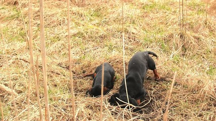 Dachshund dog hunting for moles in the garden