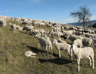 flock with many sheep grazing in the mountain