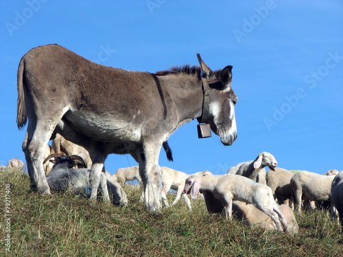Poster Ezel donkey out to pasture with a herd of sheep