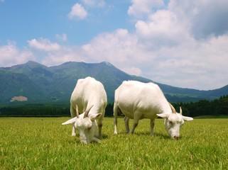 高原のヤギ