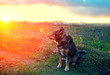 Dog gazing sunset in countryside
