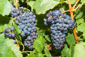 Vines with juicy ripe red wine grapes.