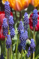 Beautiful Muscari in Spring in Holland