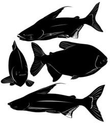 fish Pangasius and Colossoma