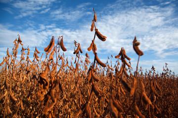 Soybean Pod in plantation.