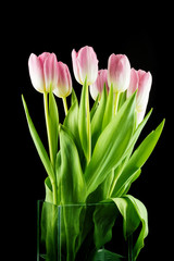 Tulips. pink flowers isolated on a Black background