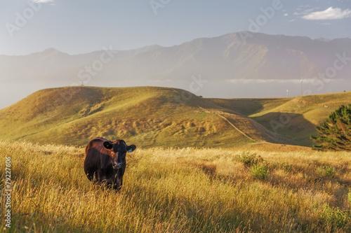 Fotobehang Nieuw Zeeland Lone cow at Kaikoura Peninsula Walkway, New Zealand