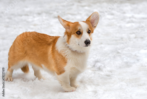 Cardigan Welsh corgi in the snow.