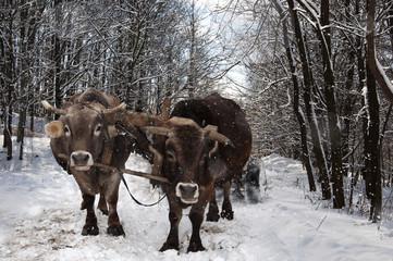Oxen carrying a wooden cart