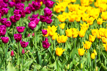 Flowers of tulips. Red and yellow background.