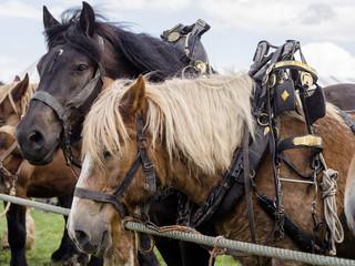 Belgian horses