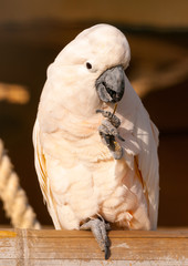 beautiful white parrot (cockatoo) sitting on his branch