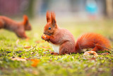 Red squirrel with nut in the park