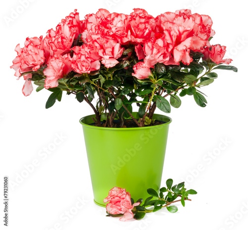 azalea in pot isolated