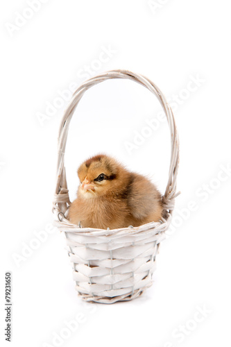 Staande foto Kip Easter Chicken on basket white background, Easter card isolated