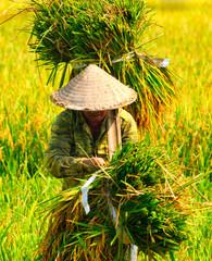 Vietnam women farmer growing rice on the paddy rice farmland