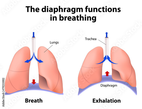 The diaphragm functions in breathing - 79233882