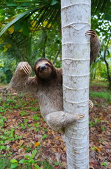 Brown-throated sloth climbing on a tree Panama