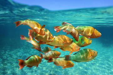 School of tropical fish Rainbow parrotfish