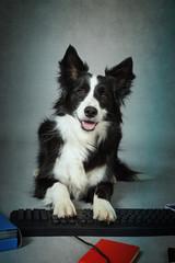 chien border Collie avec ordinateur