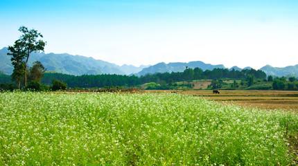 White rapeseed flower field in Moc Chau, Son La, Vietnam