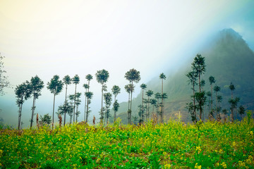 Field of rapeseed flower in Ha Giang, Vietnam