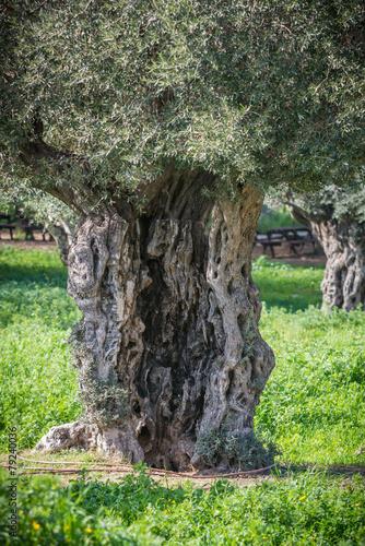 Foto op Canvas Olijfboom Old olive tree at Ein Afek