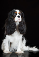 cavalier king charles spaniel dog sitting on black