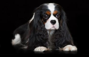 cavalier king charles spaniel dog on black