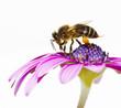 Obrazy na płótnie, fototapety, zdjęcia, fotoobrazy drukowane : abeja en la flor en en primavera