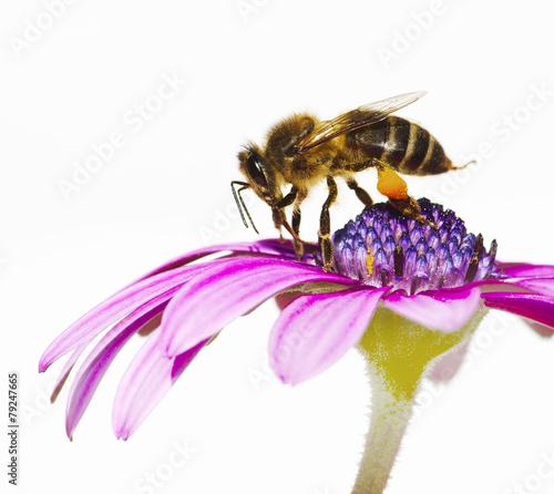 Fotobehang Bee abeja en la flor en en primavera