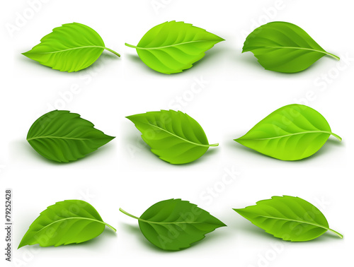 Set of Realistic Green Leaves Collection. Vector Illustration - 79252428