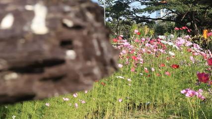 cosmos flowers in the garden, dolly scene