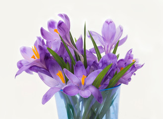 Purple spring crocus flowers.