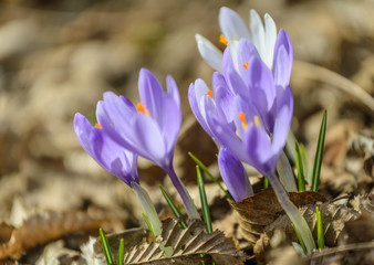 Crocus flowers in forest