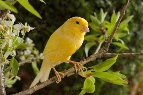 Foto op Canvas Vogel Canary on a branch pear.