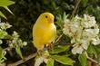 Canary on a branch of a flowering pear. - 79257694
